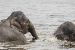 Asian elephants (Elephas maximus)) Stock Photo