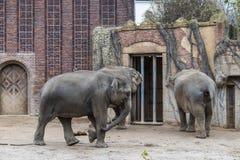 Asian Elephants Elephas maximus stock images