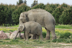 Asian elephants family Stock Photo