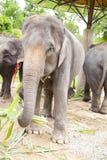 Asian elephants family Stock Photo