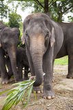 Asian elephants family royalty free stock photography