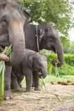 Asian elephants family Royalty Free Stock Photos