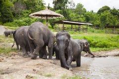 Asian elephants family Royalty Free Stock Image