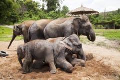 Asian elephants family Stock Image