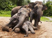 Asian elephants family Royalty Free Stock Photo