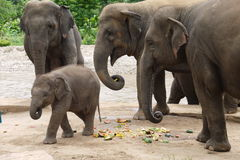 Asian elephants feeding with their calf in Thailand Stock Image