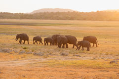 Asian elephants grazing during sunset Stock Image