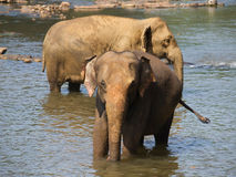 Asian elephants having bath Royalty Free Stock Photos