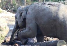 Asian elephants head close Royalty Free Stock Photo