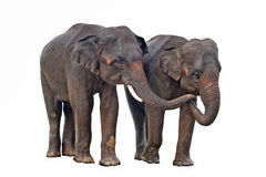 Free Asian Elephants Isolated On White Background Stock Photos - 17537813