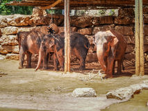 Asian elephants, Jerusalem Biblical Zoo in Israel. Asian elephants in Jerusalem Biblical Zoo or The Tisch Family Zoological Gardens, Israel Royalty Free Stock Photography
