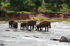 Asian Elephants Stock Photos