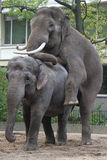 Asian elephants in love Stock Photos
