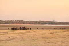 Asian elephants moving towards water Royalty Free Stock Photography