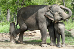 Asian Elephants, Nepal Stock Photography