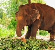 Asian elephants. Pinnawela. Sri Lanka. Stock Image
