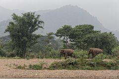 Asian elephants by the river in Thailand. An asian elephant stands near the river in rural Thailand at the Elephant nature park. This reserve protects wild and Stock Photos