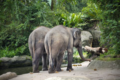 Asian Elephants. In Singapore zoo Stock Images