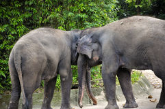 Asian Elephants. In Singapore zoo Royalty Free Stock Image