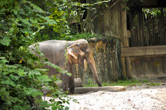 Asian Elephants. In Singapore zoo Royalty Free Stock Photo