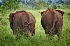 Asian elephants in Sri Lanka. Two Asian elephants strolling to the meadows of Udawalewa Natural Park in Sri Lanka Royalty Free Stock Photography