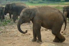 Asian Elephants, Sri Lanka Stock Photo