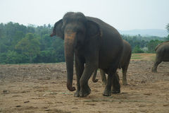 Asian Elephants, Sri Lanka Stock Photography