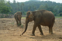 Asian Elephants, Sri Lanka Stock Image