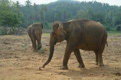 Asian Elephants, Sri Lanka Stock Image