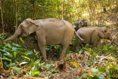 Asian Elephants in Thai jungle royalty free stock photography