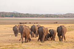Asian elephants and white egrets moving towards water Royalty Free Stock Images