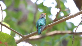 Asian emerald cuckoo Chrysococcyx maculatus Female Cute Birds of Thailand stock video