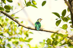 Asian emerald cuckoo. Threatened species of Asian Emerald Cuckoo bird on a branch Stock Images