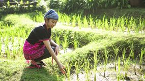 Asian ethnic woman with native dress smile at her organic rice fi stock photos