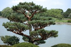 Asian Evergreen. In lake setting Royalty Free Stock Photos