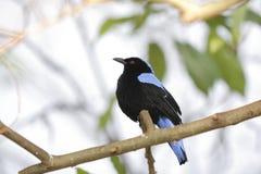Asian fairy bluebird Stock Photos