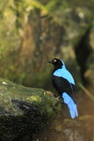 Asian fairy bluebird Stock Photo