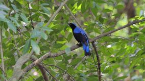 Asian Fairy Bluebird bird in tropical rain forest. Asian Fairy Bluebird bird Irena puella Latham on branch in tropical rain forest stock video footage