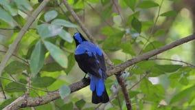 Asian Fairy Bluebird bird in tropical rain forest. Asian Fairy Bluebird bird Irena puella Latham on branch in tropical rain forest stock video