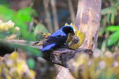 Asian Fairy-bluebird eating the banana stock images