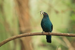 Asian fairy-bluebird female Royalty Free Stock Images