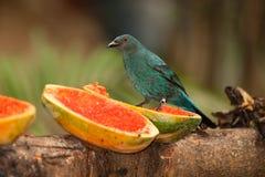 Asian Fairy bluebird - Irena puella on the bird park. Royalty Free Stock Images
