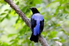 Asian Fairy Bluebird Irena puella Royalty Free Stock Images