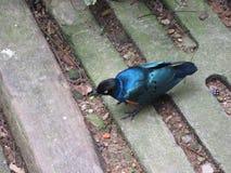 Asian fairy-bluebird or Irena puella. Stock Photos
