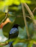Asian Fairy bluebird, Irena puella Royalty Free Stock Photo