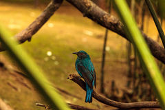Asian Fairy bluebird, Irena puella Royalty Free Stock Photos