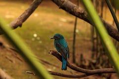 Asian Fairy bluebird, Irena puella Stock Photography