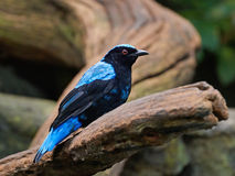 Asian fairy-bluebird (Irena puella) Royalty Free Stock Photography