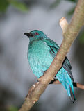Asian Fairy bluebird Royalty Free Stock Images