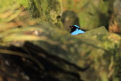 Asian fairy-bluebird Stock Photos